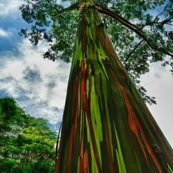 Sementes Eucalipto Arco-iris, Colorido 3.5 - 3