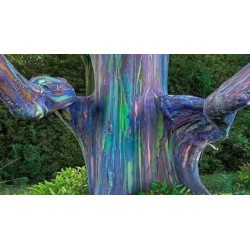 Sementes Eucalipto Arco-iris, Colorido 3.5 - 4