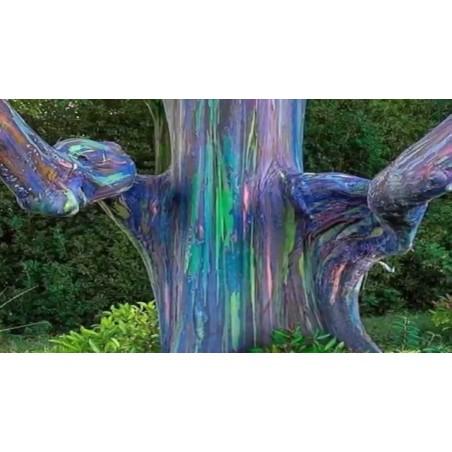 Graines Eucalyptus arc-en-ciel 3.5 - 4