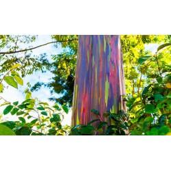 Rainbow - regnbåge Eucalyptus Frön 3.5 - 5