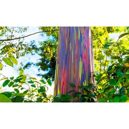 Graines Eucalyptus arc-en-ciel 3.5 - 5