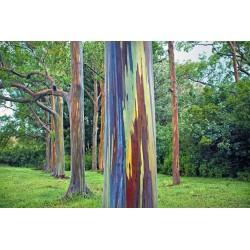Rainbow - regnbåge Eucalyptus Frön 3.5 - 6