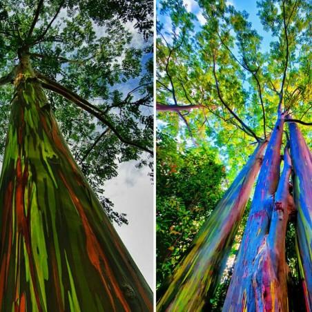Graines Eucalyptus arc-en-ciel 3.5 - 7