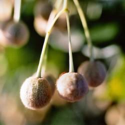 Lindsläktet träd frön (Tilia)