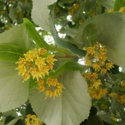 Semillas de árbol Tilia 1.85 - 2