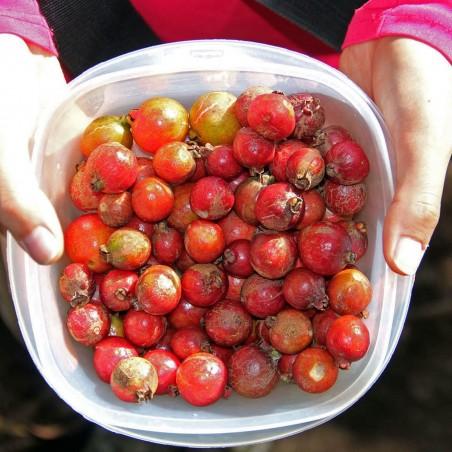 Strawberry Guava Seeds (Psidium cattleianum) 1.5 - 4