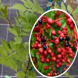 Sichuan Pepper, Szechuan Pepper Seeds (Zanthoxylum simulans) 2.75 - 4