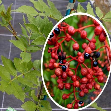 Sementes de Pimenta Sichuan Szechuan (Zanthoxylum simulans) 2.75 - 4