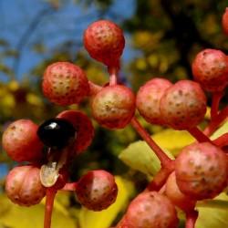 Secuanski Biber Seme (Zanthoxylum simulans) 2.75 - 5