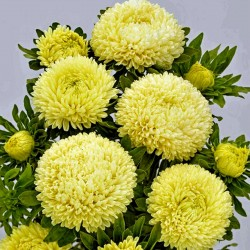 Chinese Aster Yellow 1.95 - 1