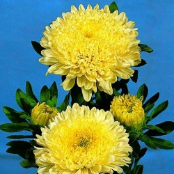 Chinese Aster Yellow 1.95 - 2