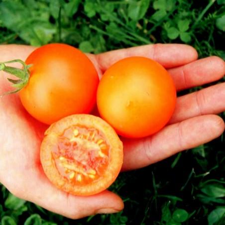 Seme Nemackog Paradajza AURIGA (Solanum lycopersicum) 1.85 - 3