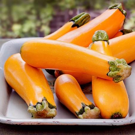 Orange Zucchini Seeds SOLEIL 1.85 - 1