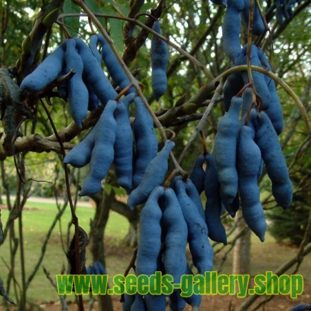 Blue Sausage Seeds Fruit Shrub Decaisnea fargesii
