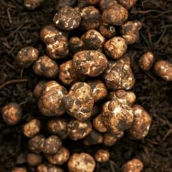 White Truffle Mycelium (Tuber magnatum) 17 - 2
