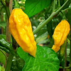 Chili FATALII Seme 2.5 - 2