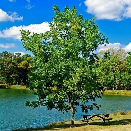 Pekannussbaum Samen (Carya illinoinensis) 4.95 - 2