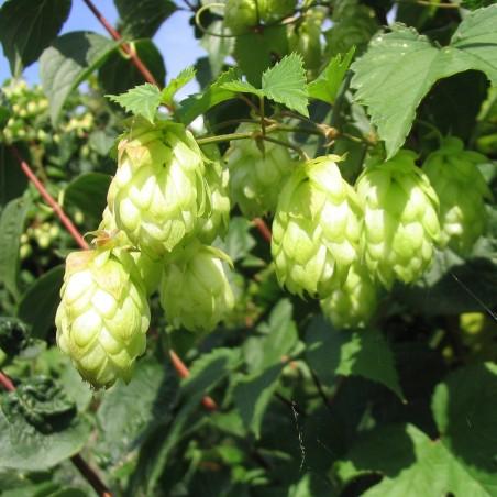 Echter Brauhopfen, Hopfen Samen (Humulus lupulus) 1.85 - 2