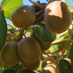 Golden Kiwi Seeds Hardy - 25°C 1.75 - 2