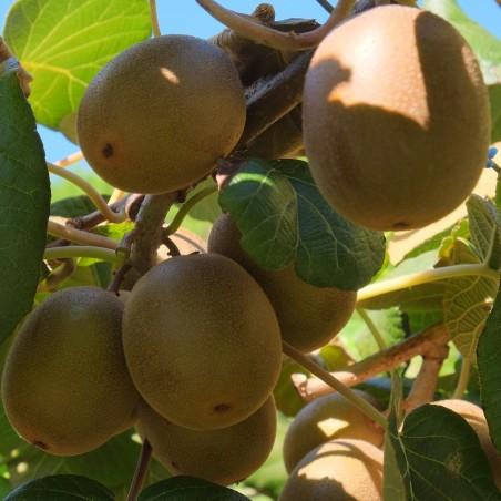 """Graines de Kiwi, Kiwai """"Golden Kiwi"""" Autofertiles 1.75 - 2"""