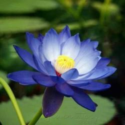 Lotus Lotosblumen Samen gemischte Farben (Nelumbo nucifera) 2.55 - 3