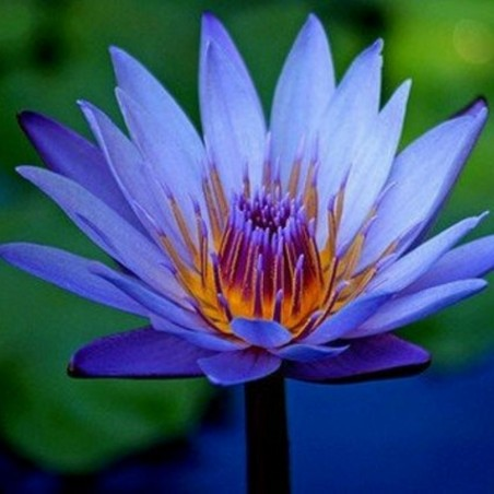Graines de Lotus sacré couleurs mélangées (Nelumbo nucifera) 2.55 - 2
