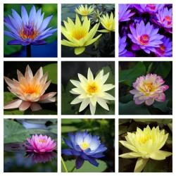 Semillas de Nelumbonaceae colores mezclados (Nelumbo nucifera) 2.55 - 1