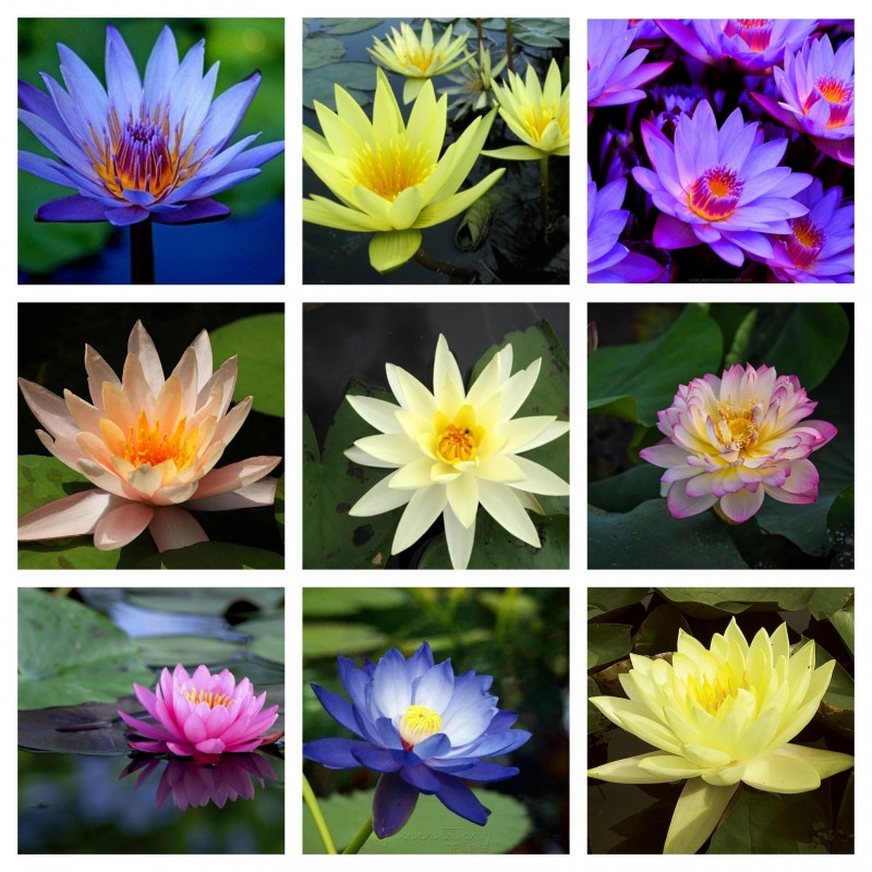 Sacred Lotus Seeds mixed colors (Nelumbo nucifera) 2.55 - 1