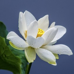 Lotus Lotosblumen Samen gemischte Farben (Nelumbo nucifera) 2.55 - 6