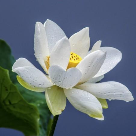 Graines de Lotus sacré couleurs mélangées (Nelumbo nucifera) 2.55 - 6