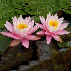 Sacred Lotus Seeds mixed colors (Nelumbo nucifera) 2.55 - 9