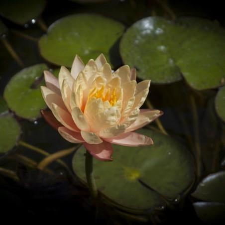 Graines de Lotus sacré couleurs mélangées (Nelumbo nucifera) 2.55 - 11