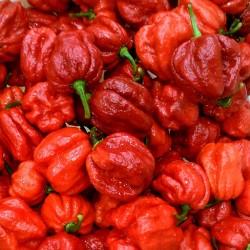 Semillas de chile Trinidad 7 Pot JONAH 2.5 - 2