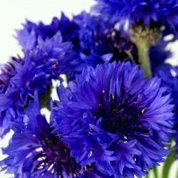 Edible - Blue Bachelor Button Flower Seeds 1.95 - 2