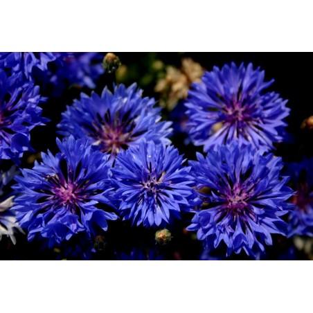 Edible - Blue Bachelor Button Flower Seeds 1.95 - 3