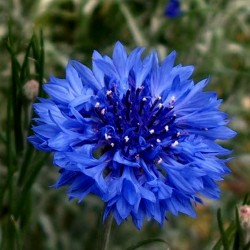 Edible - Blue Bachelor Button Flower Seeds 1.95 - 1