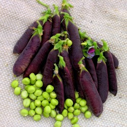 KAPUZINER VIOLET PEA Seeds 2.95 - 1