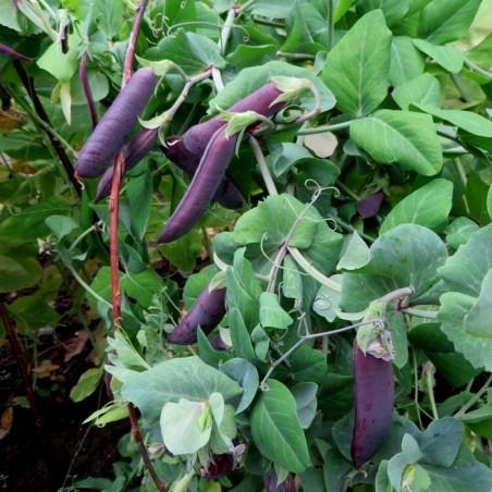 KAPUZINER VIOLET PEA Seeds 2.95 - 2