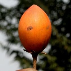 Semillas de Bakula