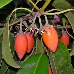 Spanische Kirsche - Bakul-Baum Samen 2.95 - 2