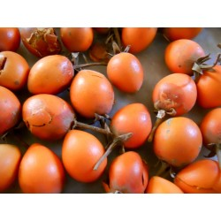 Sementes de Spanish cherry - Bakula 2.95 - 3