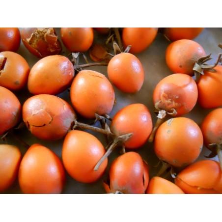 Bakul Frön - Spanish Cherry (Mimusops elengi) 2.95 - 3