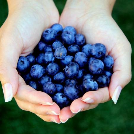 Bilberry - Whortleberry Samen (Vaccinium myrtillus) 1.95 - 2