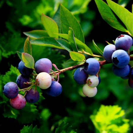 Bilberry - Whortleberry Seeds (Vaccinium myrtillus) 1.95 - 3
