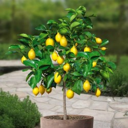 Lemon Seeds (C. × limon) 1.95 - 2