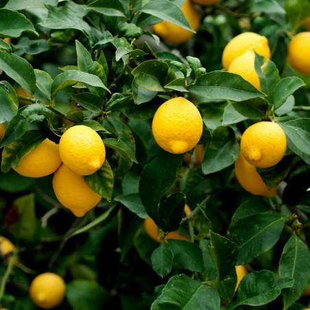 Lemon Seeds (C. × limon) 1.95 - 3