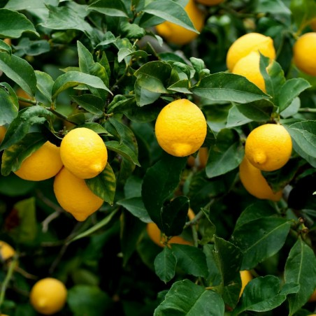 Zitrone - Limone Samen (C. × limon) 1.95 - 3