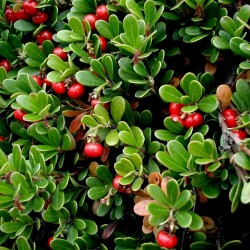 Bearberry, Kinnikinnick, Bear-Grape Seeds (Arctostaphylos uva-ursi) 2.45 - 2