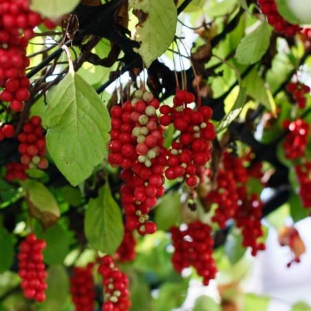 Chinesische Beerentraube Samen (Schisandra chinensis) 1.85 - 2