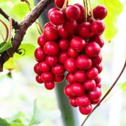 """Σπόροι Σχιζάνδρα """"φρούτο των πέντε γεύσεων"""" (Schisandra chinensis) 1.85 - 1"""